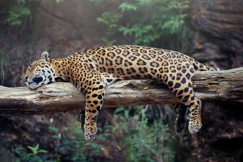 cheetah sleeping in tree wall mural by lantern press at allposters