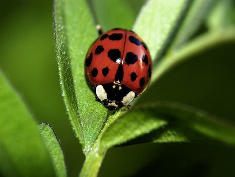 Nine Spotted Lady Bug Beetle Photographic Print