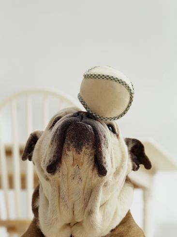 Bulldog Balancing Ball on Nose Photographic Print