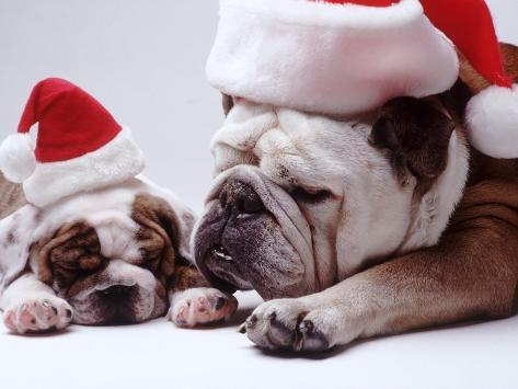 Bulldog Santas Photographic Print