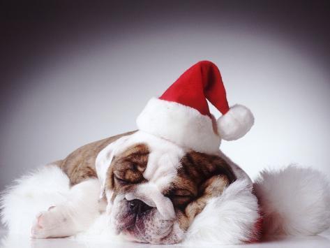 Bulldog Wearing Santa Hat Photographic Print