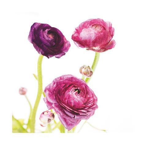 Spring Ranunculus I Art Print