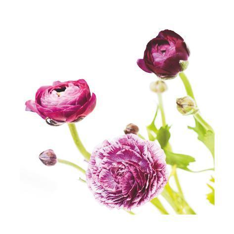 Spring Ranunculus II Art Print