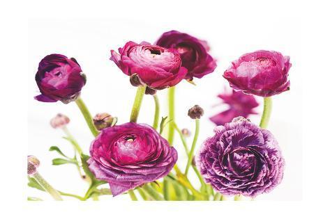 Spring Ranunculus III Art Print