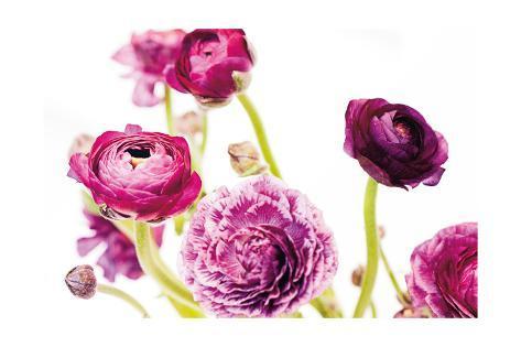 Spring Ranunculus IV Art Print