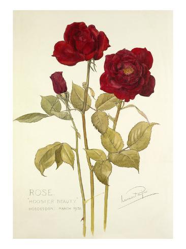 Rose Hoosier Beauty Giclee Print