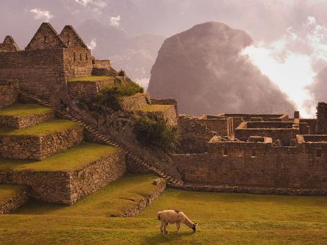Llama Grazing at Machu Picchu Photographic Print