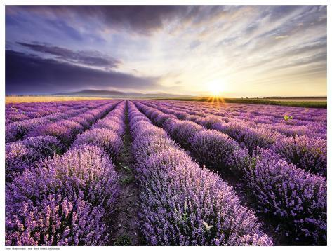 Lavender Sunrise Impressão artística