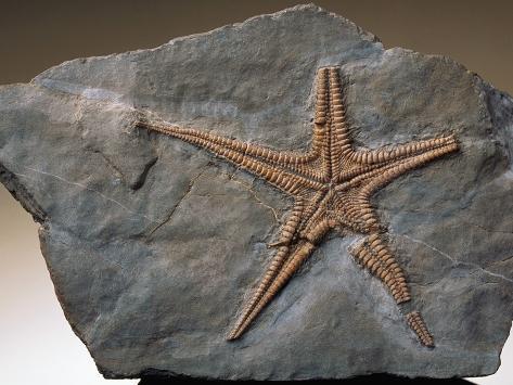 Fossilized Starfish Photographic Print
