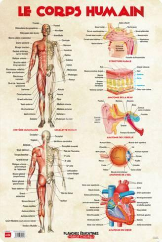 Anatomie Du Corps Humain le corps humain prints at allposters