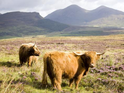 Pair of Highland Cows Grazing Among Heather Near Drinan, on Road to Elgol, Isle of Skye, Highlands, Photographic Print