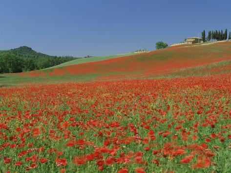 Poppy Field Near Montechiello, Tuscany, Italy Photographic Print