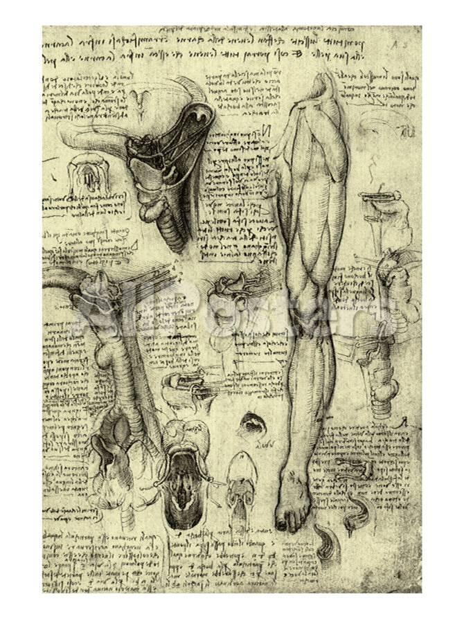Human Anatomy Prints By Leonardo Da Vinci At Allposters