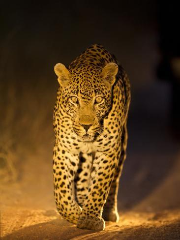 Leopard at Night, Sabi Sabi Reserve, South Africa Stampa fotografica