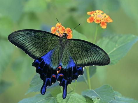 Japanese Swallowtail Butterfly (Papilio Bianor) on Flowers Photographic Print