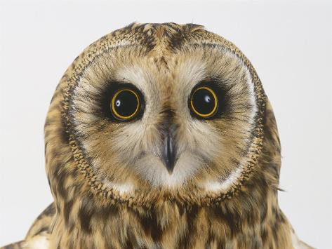 Short-Eared Owl, Asio Flammeus Photographic Print
