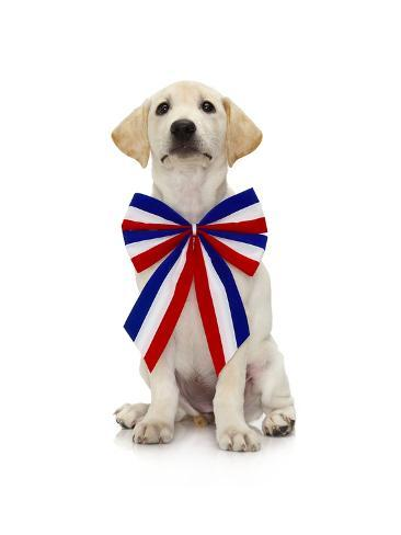 Lab Puppy Wearing Patriotic Bow Tie Photographic Print