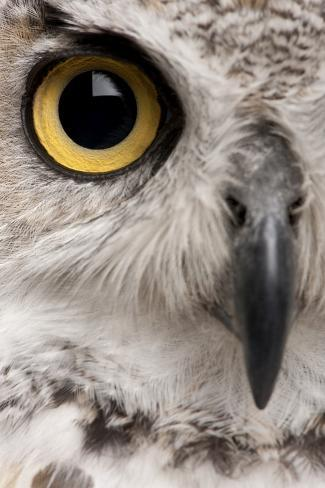 Close-Up of Great Horned Owl, Bubo Virginianus Subarcticus Photographic Print