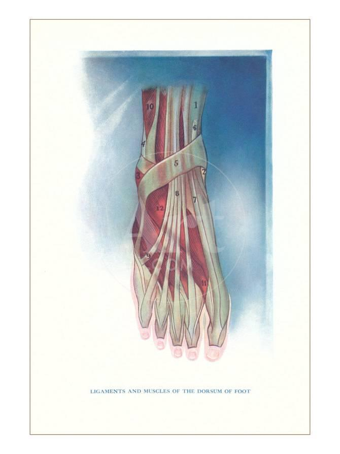 Ligaments And Muscles Of Dorsum Of Foot Posters Allposters