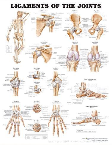 Ligaments of the Joints Anatomical Chart Poster Print Poster