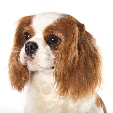 Cavalier king charles spaniel dog photographic print by lilun at cavalier king charles spaniel dog thecheapjerseys Images