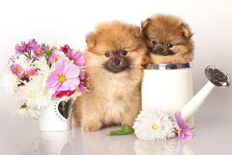 Two German (Pomeranian) Spitz Puppies And Flowers On White Background Photographic Print