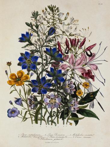 Linum Usitatissimum Botanical Illustration Lámina giclée