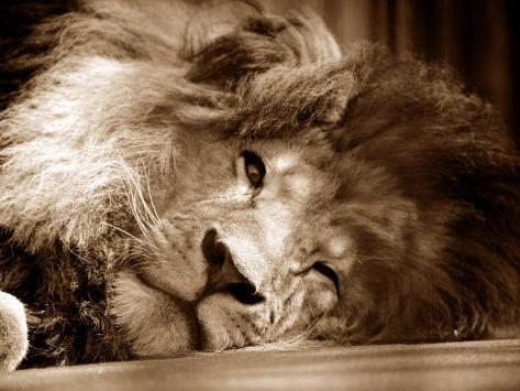 Lion Sleeping at Whipsnade Zoo Asleep One Eye Open, March 1959 Photographic Print