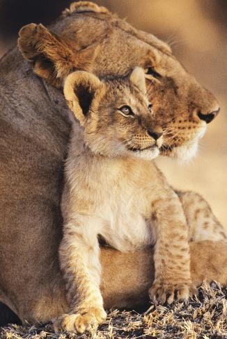 Lioness & Cub Poster