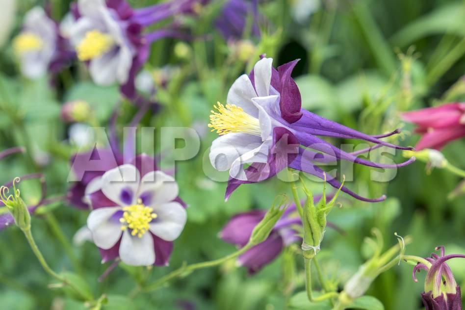 Columbine Flowers Usa Premium Photographic Print By Lisa S