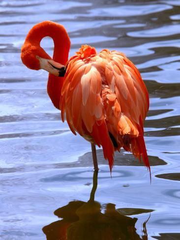 Flamingo in Water Photographic Print