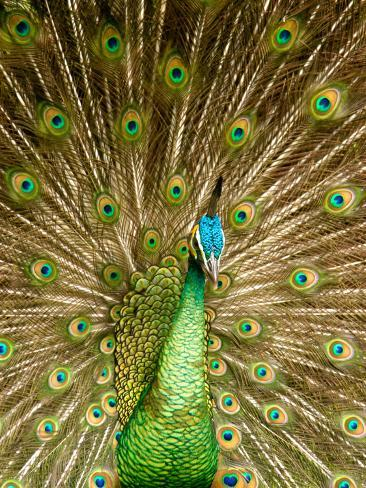 Peacock Displaying Feathers Photographic Print