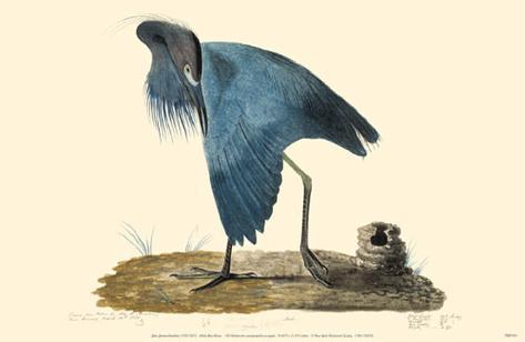 Little Blue Heron Masterprint