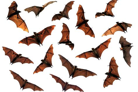 Spooky Halloween Flying Fox Fruit Bats Photographic Print