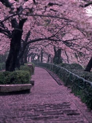 Garden Walkway, Trees in Blossom, Tokyo, Japan Photographic Print