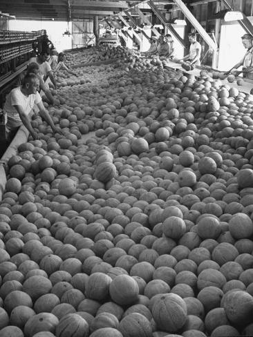 Men Sorting Cantaloupes before Packing into Crates Photographic Print
