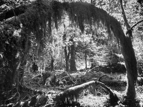 Olympic National Park Showing Rain Forest Conditions with Tree Bending under the Weight of Moss Photographic Print