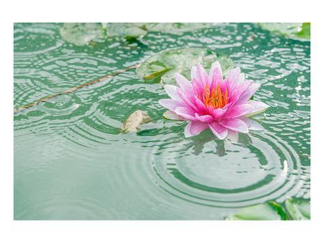 Lotus flower in pond rain drop posters at allposters mightylinksfo
