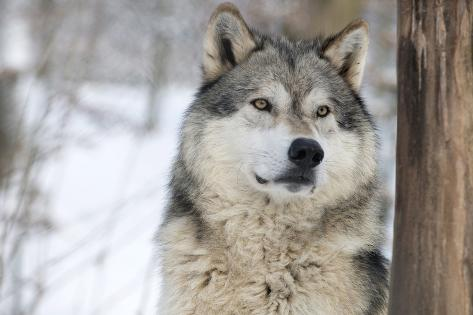 north american timber wolf canis lupus in forest photographic