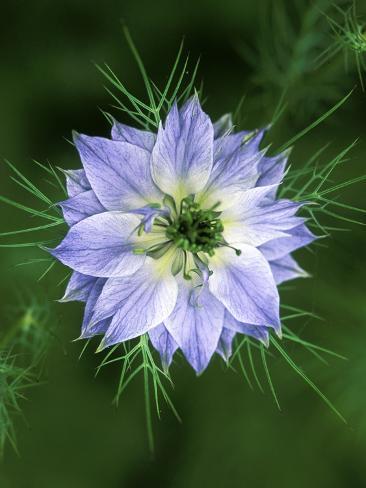 Nigella Love In The Mist Close Up Of Blue Flower Head