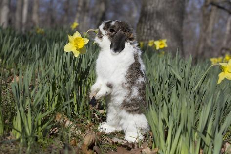 Adult holland lop rabbit in spring flowers daffodils meriden adult holland lop rabbit in spring flowers daffodils meriden connecticut usa mightylinksfo