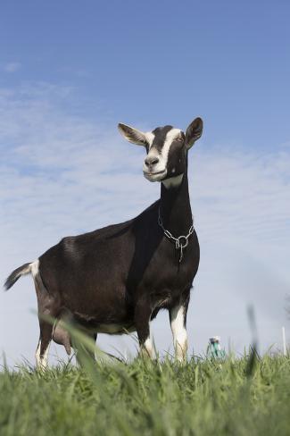 Alpine Goat (A Dairy Breed) Doe in Pasture, Poplar Grove, Illinois, USA Impressão fotográfica