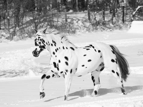 appaloosa horse trotting through snow usa photographic print by