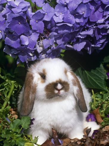 Baby Holland Lop Eared Rabbit, Amongst Hydrangeas, USA Photographic Print