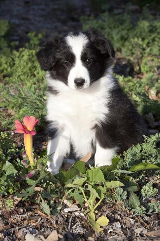 Border Collie Pup In Grass Leaves And Trumpet Flowers Goleta California USA