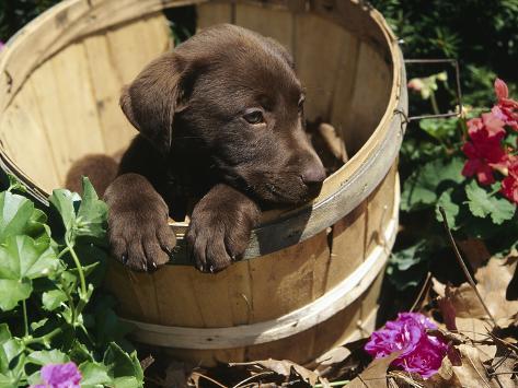 Chocolate Labrador Retriever in Basket Photographic Print