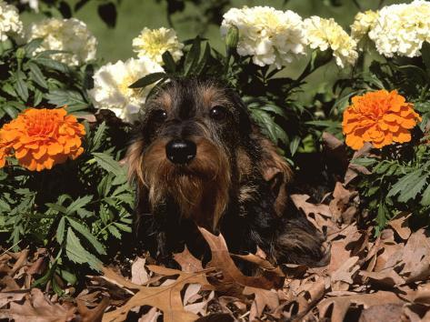 Dachshund Dog Amongst Flowers, USA Photographic Print