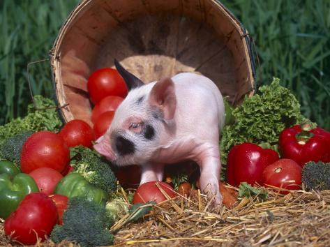 Domestic Piglet, Amongst Vegetables, USA Photographic Print