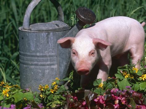 Domestic Piglet Beside Watering Can, USA Photographic Print