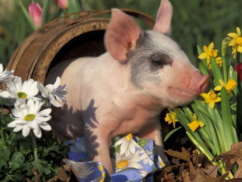 Domestic Piglet in Barrel, Mixed-Breed Photographic Print